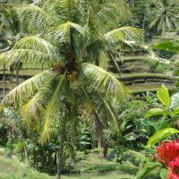 Yoma Villas Bali Accommodation Trip to Tegalalang Rice Terrace 01