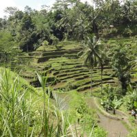 Yoma Villas Bali Accommodation Trip to Tegalalang Rice Terrace 04